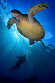 Green Sea Turtle swimming backlit by the sun with silhouetted diver — Stock Photo