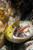 Moray Eel getting it's mouth cleaned by a cleaner shrimp on a reef in Sipadan Islands in Sabah, Malaysia. — Stock Photo