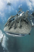 KOH TAO, THAILAND - MAY 18: A Whaleshark followed by un-indentified scuba divers near the island of Koh Tao on May 18, 2009. Koh Tao in the Gulf of Thailand is a popular destination for new divers. — Stock Photo