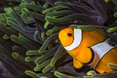 Wester Clown fish in sea anemone on coral reef in Thailand — Stock Photo
