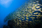 School of yellow Fusiliers swimming over a coral reef in the Similan Islands near Khao Lak in Thailand's Andaman Sea. — Stock Photo