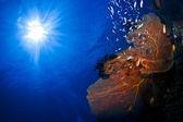 蓝色的水背景上的发光红扇珊瑚。 — Stockfoto