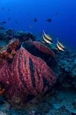 Red Barrel Sponge with two Bannerfish on the reef in Pulau Sipadan, Sabah, Malaysia. Sipadan is located og the eastern side of Malaysian Borneo. — Stock Photo