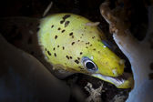 Head of green and yellow moray eel on the reef looking at viewer — Stock Photo