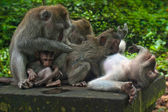Monkey family with two adults and one baby (Macaca fascicularis) near Pura Dalem Agung Padangtegal temple in Sacred Monkey Forest in Ubud Bali Indonesia. — Stock Photo