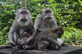 Monkey family with three adults and one baby — Stock Photo
