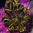 Pink soft coral and black yellow featherstar under water — Stock Photo