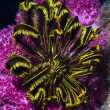 Stock Photo: Pink soft coral and black yellow featherstar under water
