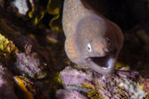 Moray eel on the reef in Similan Islands, Thailand — Stock Photo