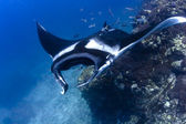 Swimming Manta Ray under water in Similan Islands, thailand — Stock Photo