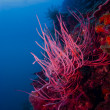 Stock Photo: Bright red Whip coral