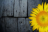 Yellow sunflower on old textured wooden floor board background — Stock Photo