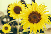 Yellow sunflower isolated on white background — 图库照片