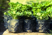Green seedlings growing in soil — Stock Photo