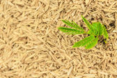 Green plant growing in dry hay — Stock Photo