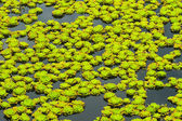 Bright green nature background of water flowers on lake — Stock Photo