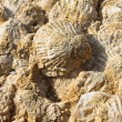 Sedimented bivalve shell, fossils. — Stock Photo