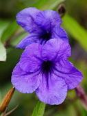 Streptocarpus Bristol`s or Blue Flowers — Foto Stock