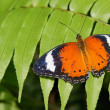 Stock Photo: Orange Admiral Butterfly