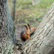 Red squirrel — Stock Photo #21007343