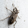 Cleonis weevil — Stock Photo