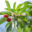 Cherry branch — Foto de Stock
