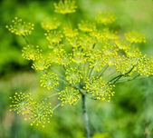Dill (Fennel) flower — Stock Photo