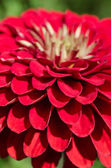 Red flower close up — Stock Photo