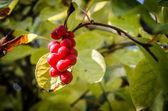 Chinese magnolia vine berries — Stock Photo