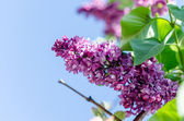 Blossoming lilac branch on the sky background — Zdjęcie stockowe