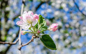 Blossoming cherry branch — Stock Photo