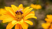 Yellow flower with bee inside — Stock Photo