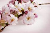 Flor de cerezo — Foto de Stock