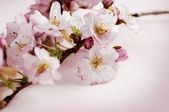 Cherry blossom — Foto Stock