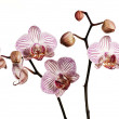 Pink striped Orchids — 图库照片