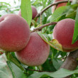 Stock Photo: Mellow Peaches on branch