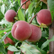 Mellow Peaches on branch — Stock Photo