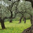 Stock Photo: Old Olive Trees In Flower Meadow