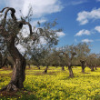 Old Olive Trees In Flower Meadow — Stok fotoğraf