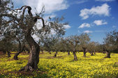 Old Olive Trees In Flower Meadow — Stock Photo