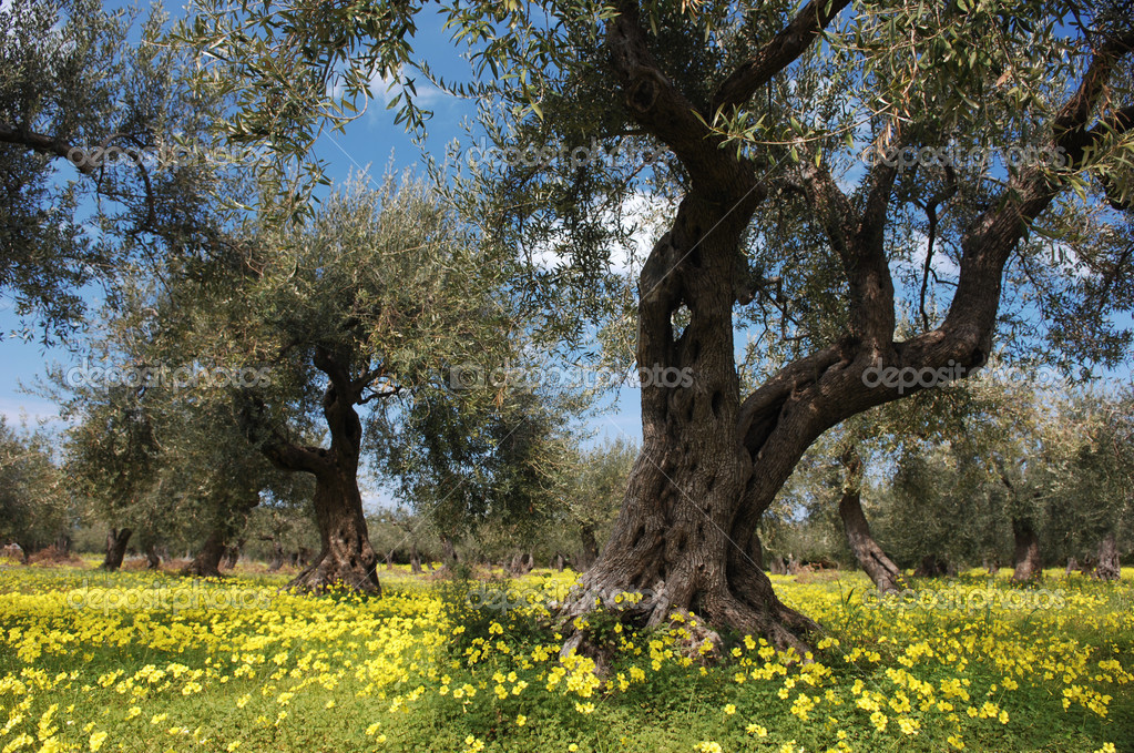 how to get olive trees to flower