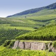Rheingau Riesling Vineyards — Stock Photo #26042191