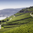 Stock Photo: Rheingau Riesling Vineyards