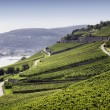 Rheingau Riesling Vineyards - Stock Photo