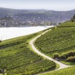 Foto de Stock  : Rheingau Riesling Vineyards