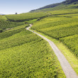 Rheingau Riesling Vineyards — Stock Photo #26044107