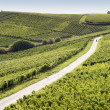 Rheingau Riesling Vineyards — Stock Photo #26044935