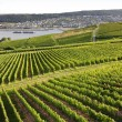 Rheingau Riesling Vineyards — Stock fotografie