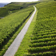 Rheingau Riesling Vineyards — Foto Stock