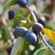 Ripe olives on branch of a tree — Stock Photo